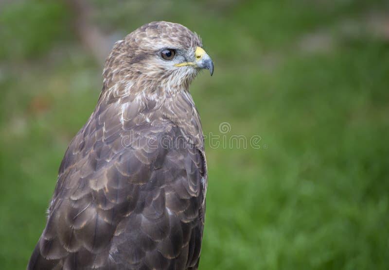 Junger Falke in der Gefangenschaft im Zoo am Sommertag lizenzfreie stockfotos