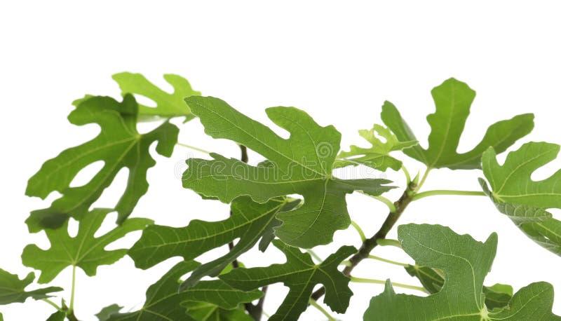 Junger Feigenbaum mit üppigen Blättern lizenzfreies stockfoto