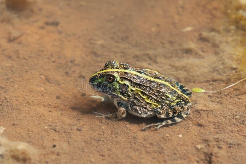 Junger Frosch Ochsenfrosch, Wildnis Namibias Afrika lizenzfreies stockbild