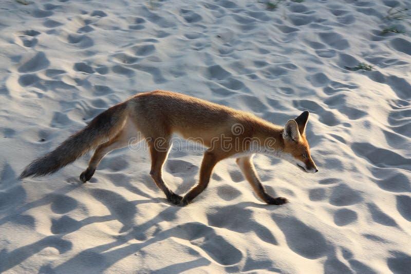 Junger Fuchs läuft aufmerksam und schnell letzte Touristen stockbilder