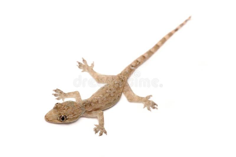 Junger Gecko stockfotografie