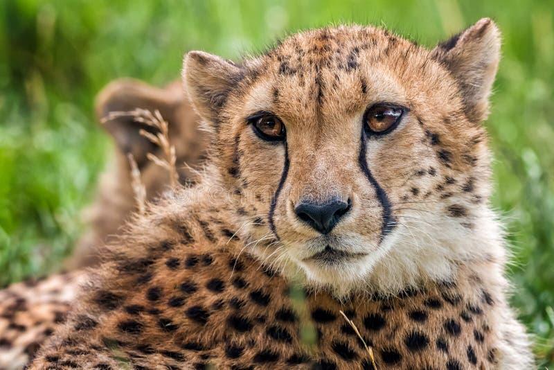 Junger Gepard lizenzfreie stockfotos
