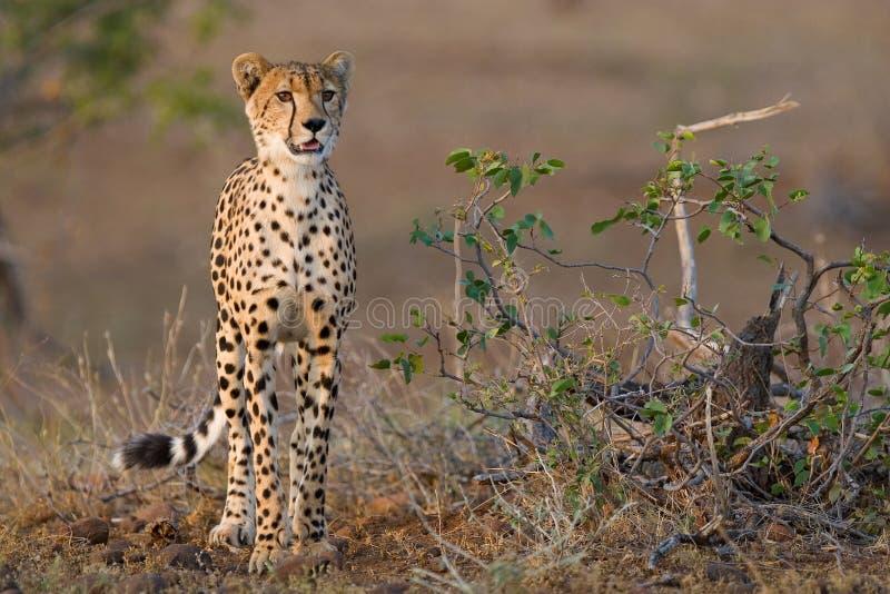 Junger Gepard stockfotos