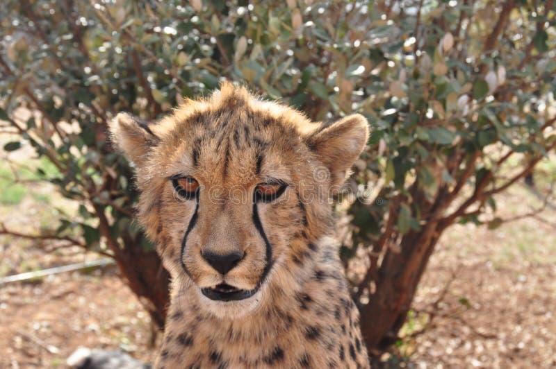 Junger Gepard, der mich 2 betrachtet stockbilder