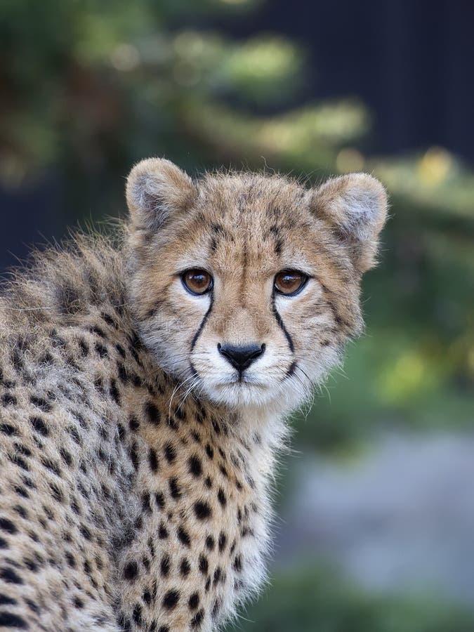 Junger Gepard, ein Porträt lizenzfreie stockbilder