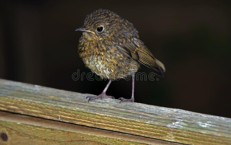 Junger gewordener Vogel eingelassen dem Garten stockbild