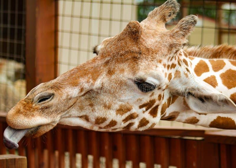 Junger Giraffenkopf mit drei Hörnern und Gesicht und Ohren mit der Zunge heraus stockfotos