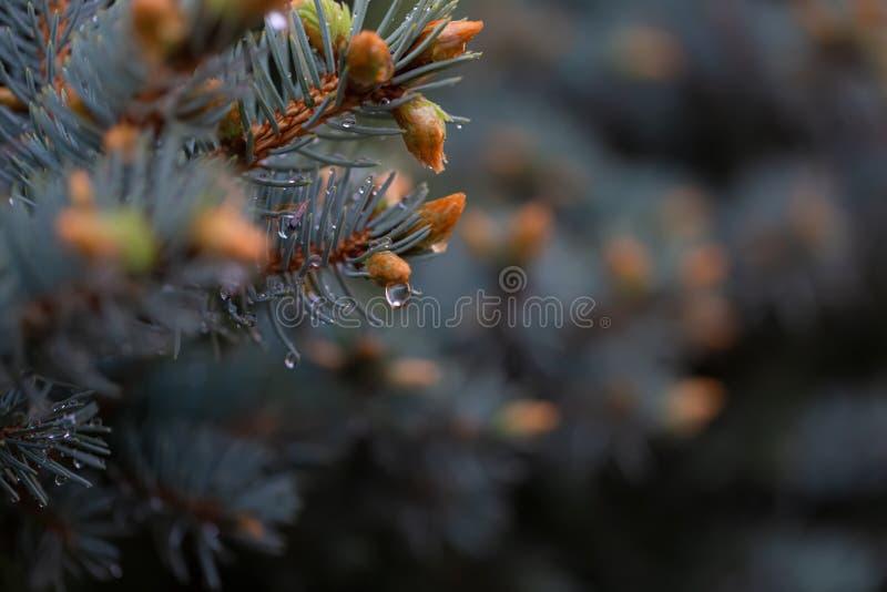 Junger grüner Fichtenzweig setzen im Frühjahr im Garten Zeit fest Natur unscharfer schöner Hintergrund regentropfen Flache Sch?rf lizenzfreie stockbilder