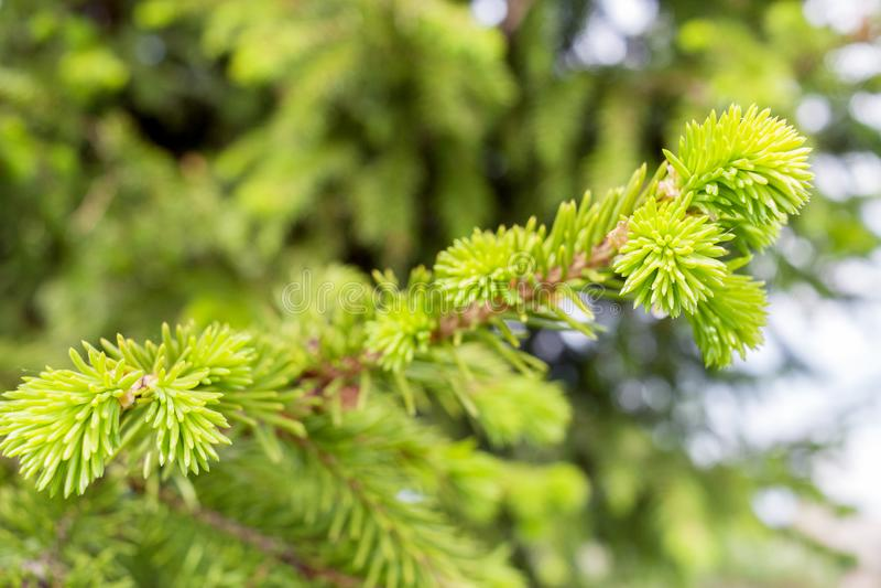 Junger grüner Frühlingstannenzweig der Nahaufnahme stockbilder