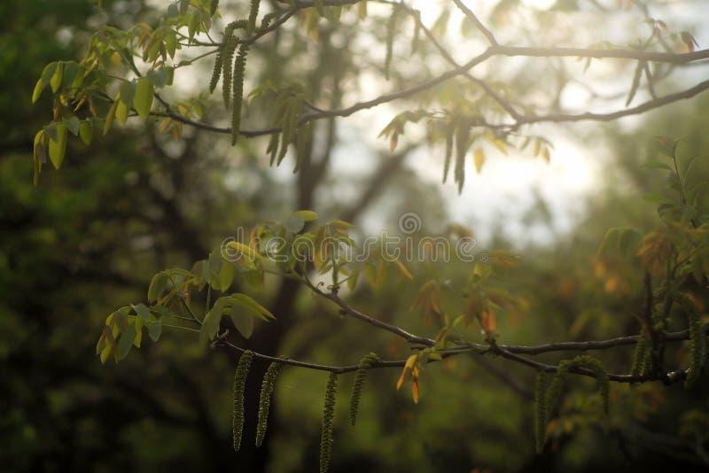 Junger Haselnussbaum lizenzfreie stockfotos