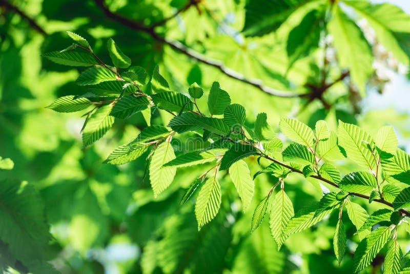 Junger Haselnussbaum verlässt in einem Sonnenschein lizenzfreie stockfotografie