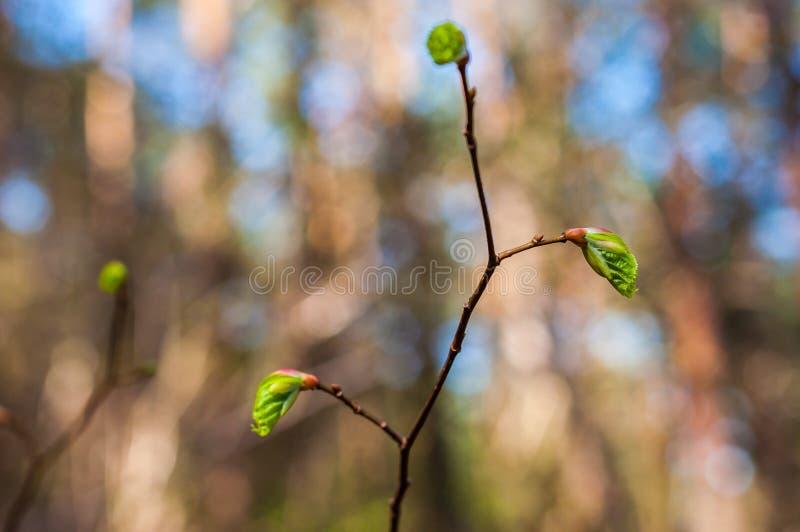 Junger Haselnussbaumastsprössling mit wachsendem Wald der Blätter im Frühjahr lizenzfreie stockbilder