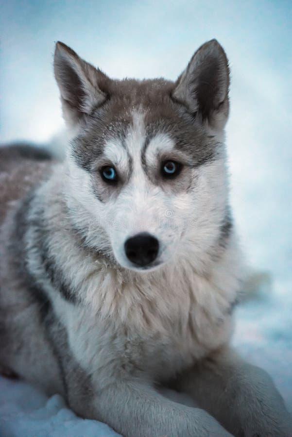 Junger heiserer Schlittenhund mit blauen Augen auf weißem Schnee stockfotografie