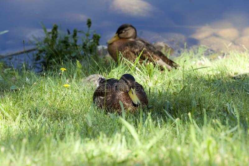 Junger Herbst der Ente lizenzfreies stockbild
