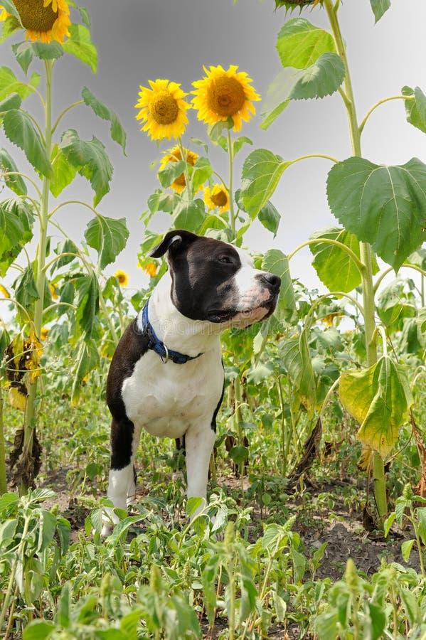 Junger Hund unter Sonnenblumen stockbild