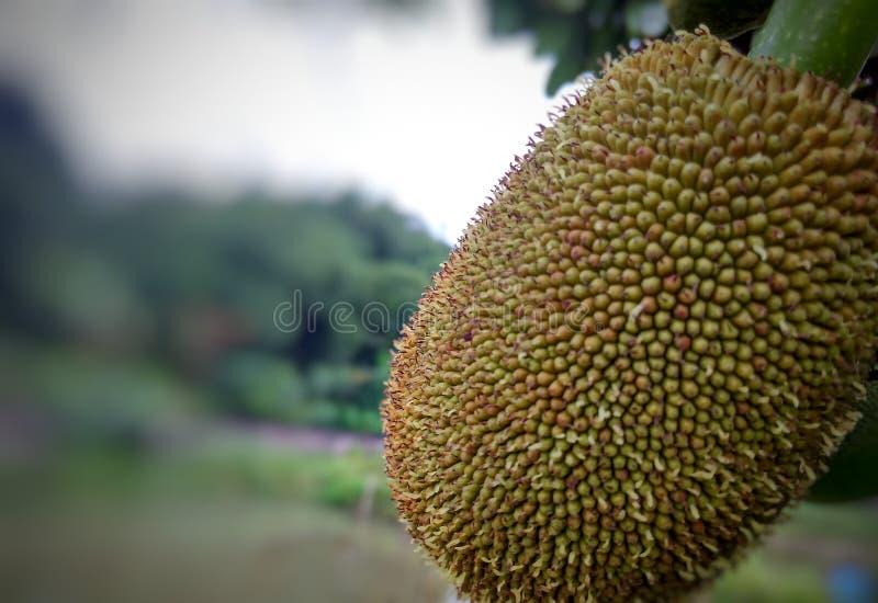 Junger Jackfruit stockfotografie