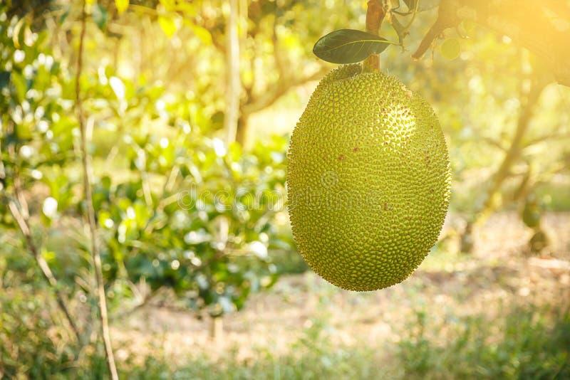 Download Junger Jackfruit Im Bauernhof Mit Weichem Licht Stockfoto - Bild von bauernhof, form: 96926552