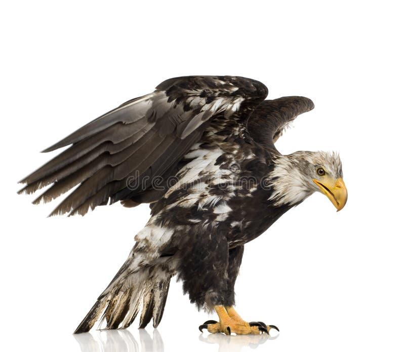 Junger kahler Adler (5 Jahre) - Haliaeetus leucocepha stockfoto