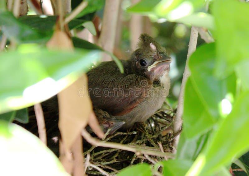 Junger Kardinal im Nest stockbild