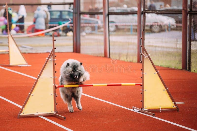 Junger Keeshond, Keeshonden-Hundespiel und Springen über Sperre lizenzfreies stockbild