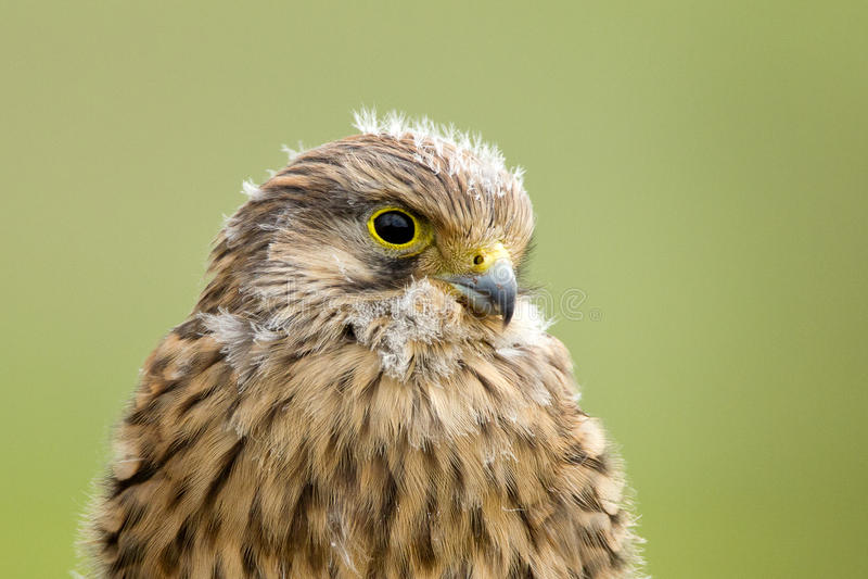 Junger Kestrel mit Nestfedern lizenzfreies stockfoto