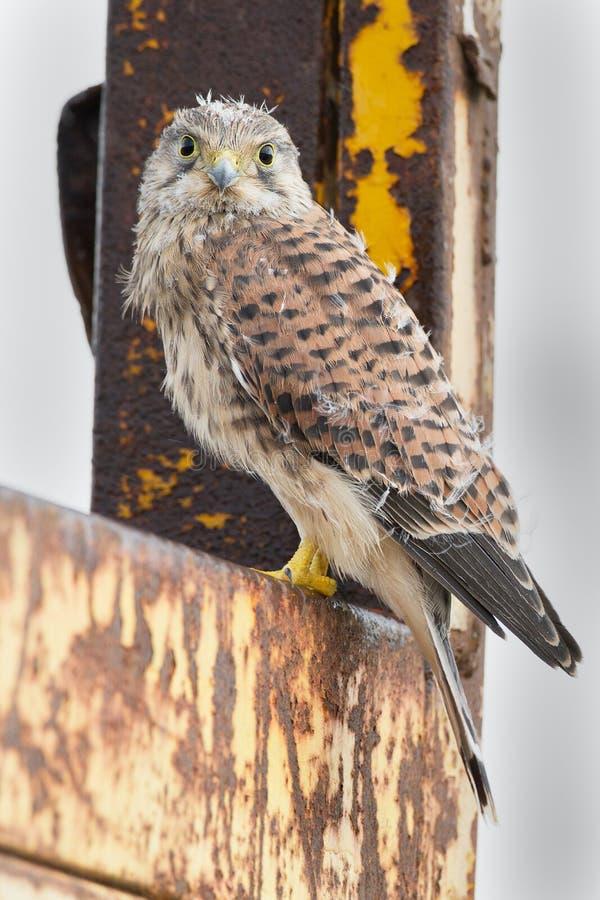 Junger Kestrel mit Nestfedern stockbilder