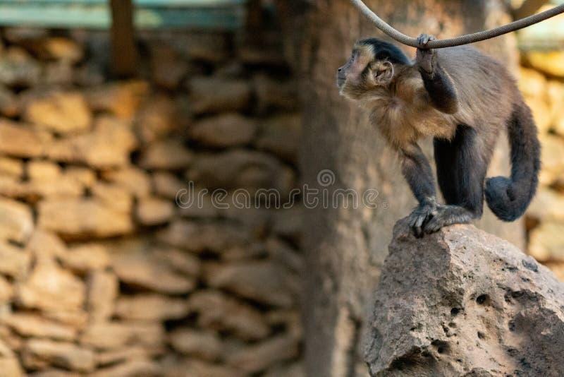 Junger kleiner Affe, der mit einem Seil spielt lizenzfreie stockfotografie
