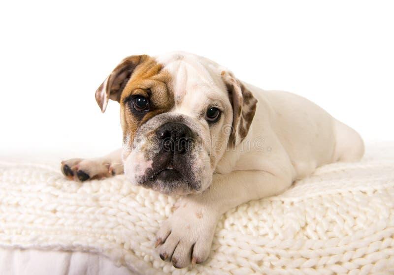 Junger kleiner Jungshund der französischen Bulldogge, der zu Hause auf dem Bett betrachtet neugierig der Kamera liegt stockfotografie