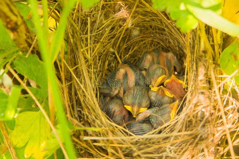 Junger kleiner Vogel ein blindes Küken erfordert Lebensmittel mit einem hellen gelben Schnabel in einem Nest, das im Gras von den lizenzfreies stockfoto