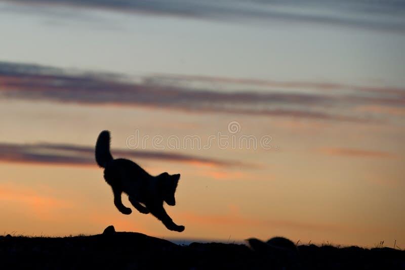 Junger kleiner Welpe des silbernen arktischen Fuchses stockbild