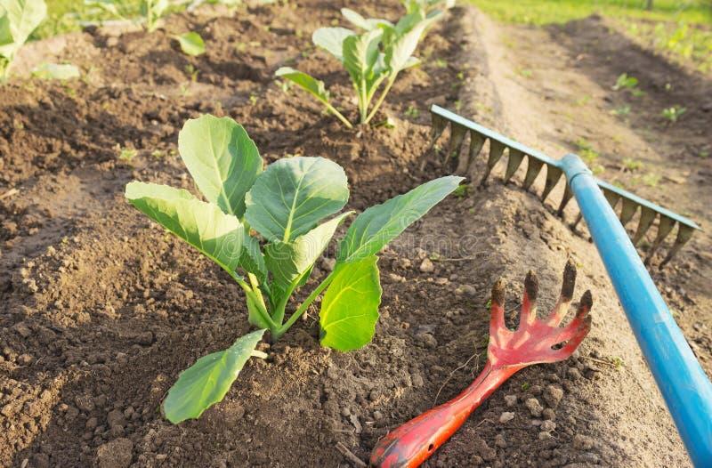 Junger Kohl und Gartenwerkzeuge stockfotografie