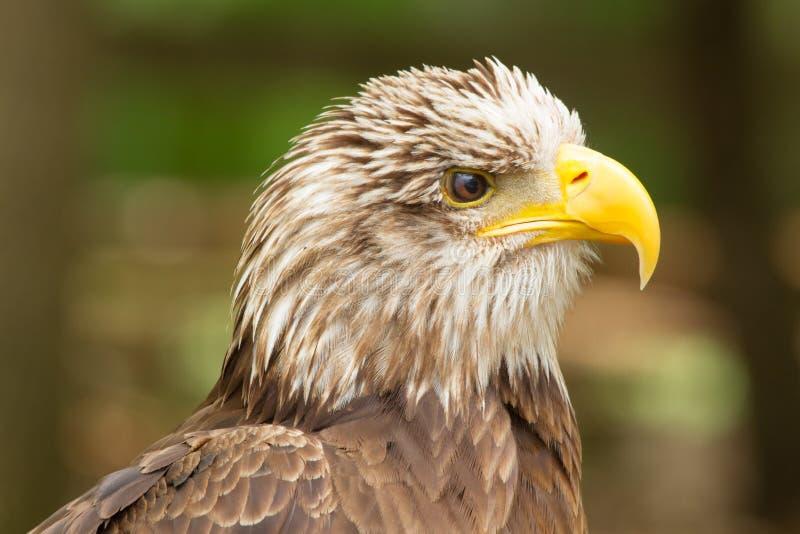 Junger Kopf des kahlen Adlers, Kanada stockfotos