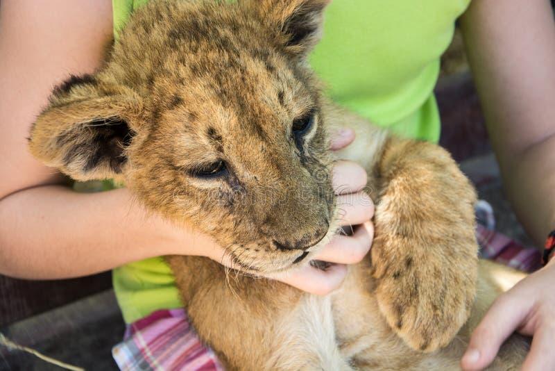 Junger Löwe in den Händen der Kinder stockfotografie