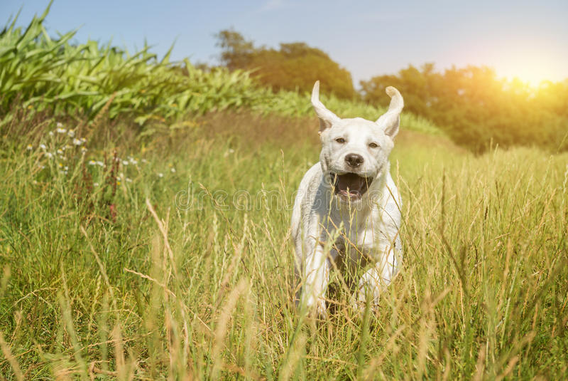 Junger Labrador-Hundewelpe, der mit lustigem Gesicht läuft stockbilder