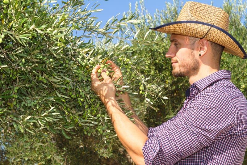 Junger Landwirt, der die neue olivgrüne Ernte kontrolliert lizenzfreie stockfotografie