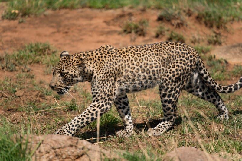Junger Leopard in einem felsigen Bereich im Nationalpark Serengeti lizenzfreie stockfotografie