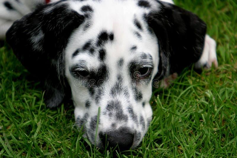 Junger liegender dalmatinischer Hund lizenzfreie stockbilder