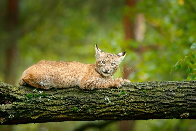 Junger Luchs in der grünen Szene der Waldwild lebenden tiere von der Natur Gehender eurasischer Luchs, Tierverhalten im Lebensrau lizenzfreies stockfoto