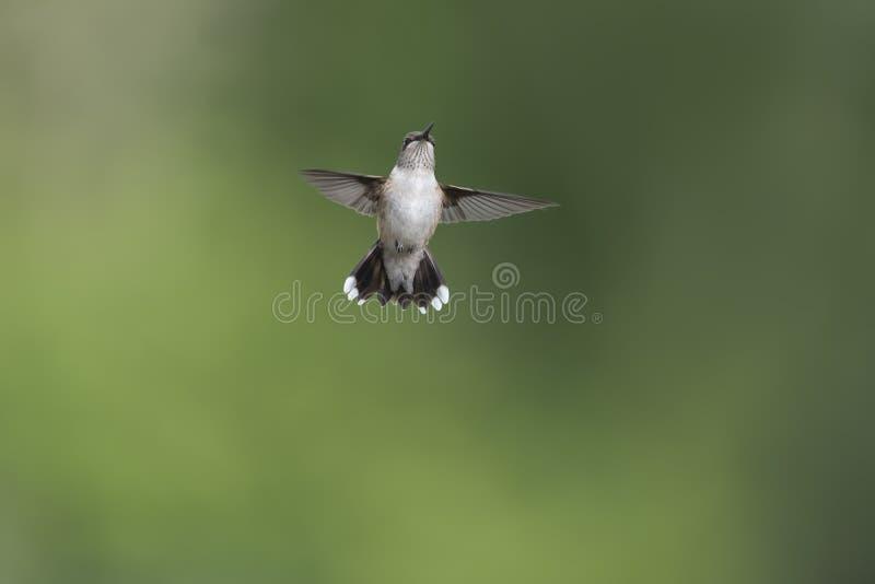Junger männlicher Kolibri, der die ersten Zeichen des Erwachsenseins zeigt lizenzfreies stockbild