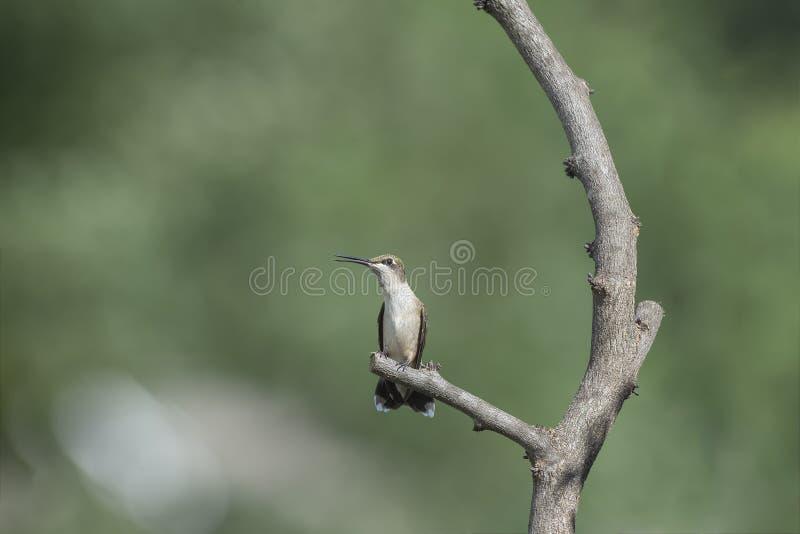 Junger männlicher Kolibri gehockt und Rattern lizenzfreie stockfotografie