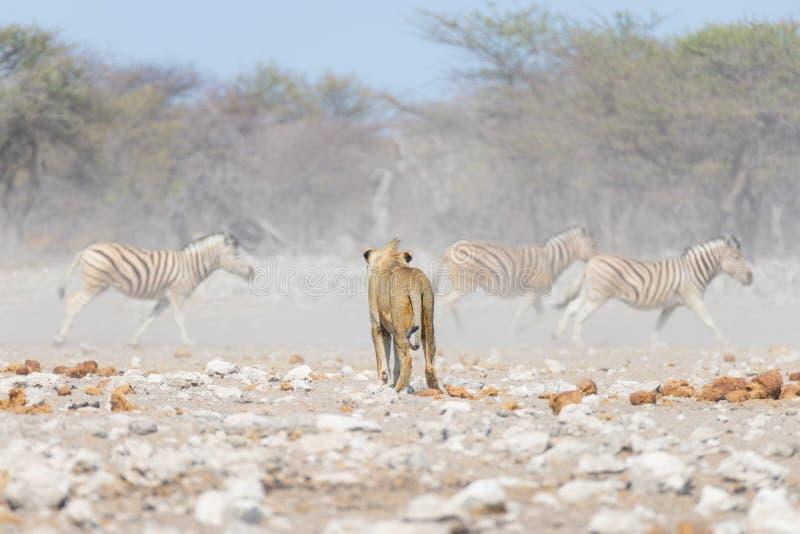 Junger männlicher Löwe, bereiten für Angriff vor und gehen in Richtung zur Herde von den Zebras, die weg laufen, defocused im Hin stockfotos