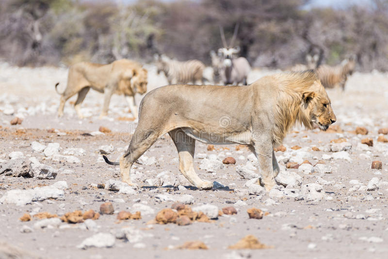 Junger männlicher Löwe, bereiten für Angriff vor und gehen in Richtung zur Herde von den Zebras, die weg laufen, defocused im Hin lizenzfreies stockbild