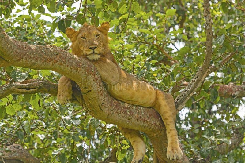 Junger männlicher Löwe in einem Baum lizenzfreie stockbilder