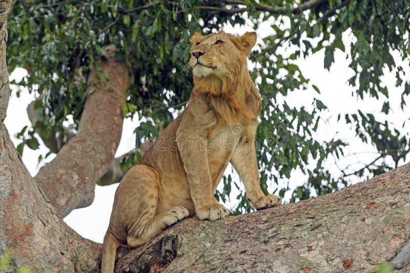 Junger männlicher Löwe in einem Baum lizenzfreies stockbild