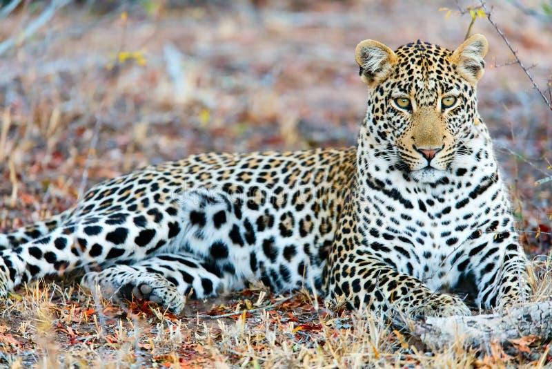 Junger männlicher Leopard stockbilder