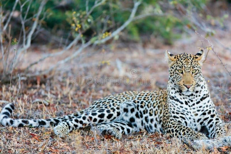Junger männlicher Leopard lizenzfreies stockbild
