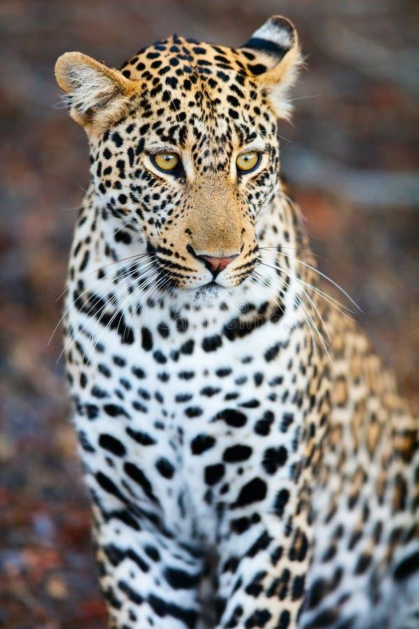 Junger männlicher Leopard lizenzfreies stockfoto