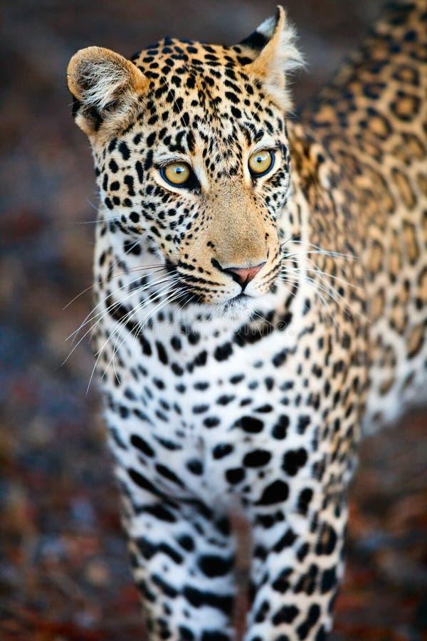 Junger männlicher Leopard stockbild