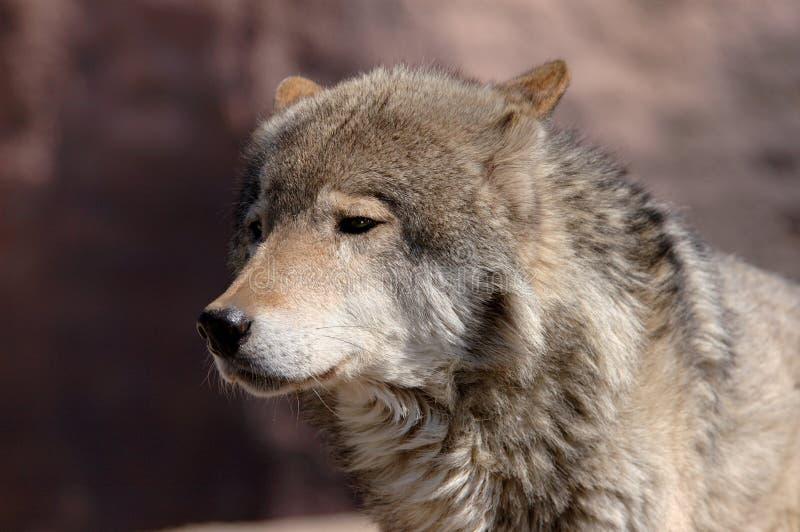 Junger männlicher Wolf lizenzfreie stockbilder