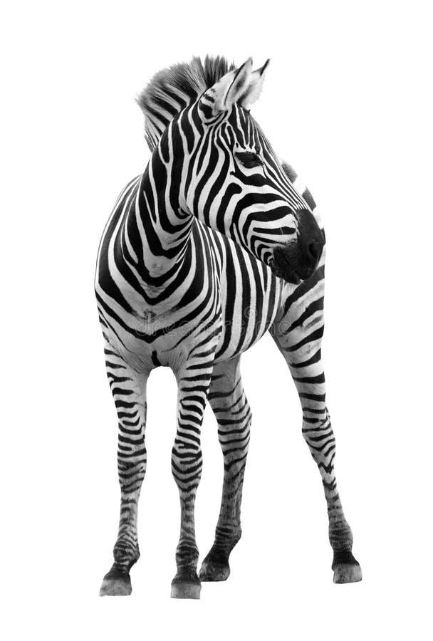 Junger männlicher Zebra getrennt stockfotos